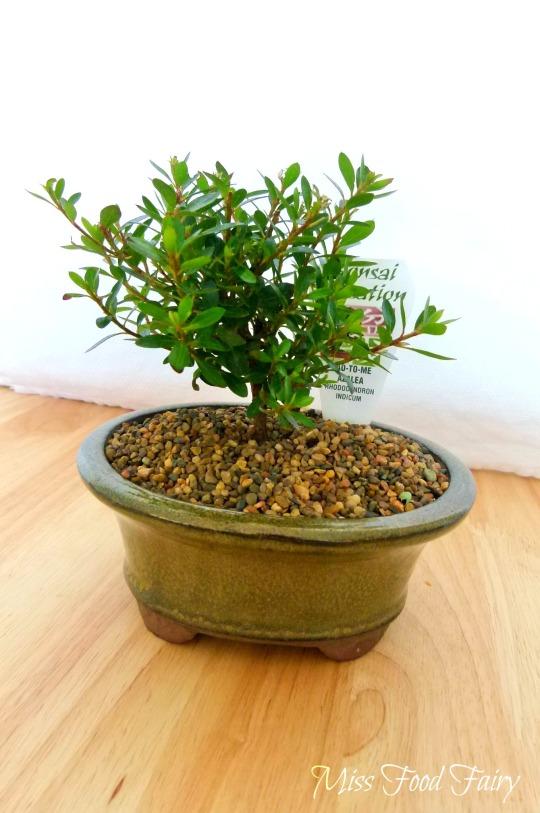 a.MissFoodFairy's Izzy Azalea bonsai